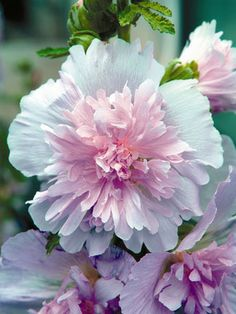 Hollyhock - Spring Celebrities Lilac. Growing between 30-36 inches tall, this shorter variety Hollyhock flowers with soft, lilac pink Peony-like frilly blossoms.  It likes full sun, and is suitable for zones 4-8.
