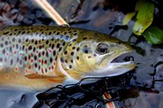 scottish brownie trout patterns - Google Search