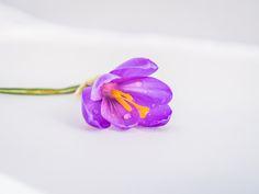 Crocus lilac - crocus lilac