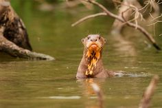 Giant Otter swims in the Amazon
