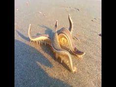 In spiaggia trova e filma questa creatura magnifica! - YouTube