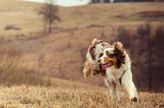 Merle Australian Shepherd, Aussie Shepherd, Cute Puppies, Dogs And Puppies, Doggies, Aussie Dogs, Mini Aussie, Amor Animal, Horses And Dogs