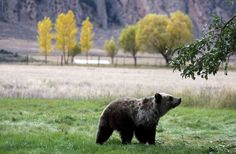 A proposal to bring back grizzlies just got a funny boost - The Washington Post