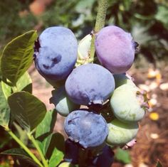 Blueberries, lovely fat and juicy. Better get some before the birds take all of them.. #blueberry #organic #organicgardening #permaculture #growyourown  http://instagram.com/a_quinta