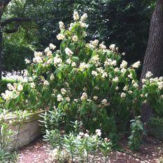 Large Hydrangea quercifolia on Senic Dr. Austin, Tx
