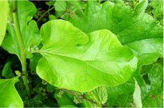 SPONDILOZA CERVICALĂ se vindecă total cu frunza de brusture - Sanatos Zi de Zi Home Remedies, Plant Leaves, Plants, Orice, Healthy, Medicine, Plant, Health, Home Health Remedies