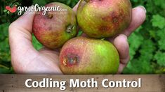 Style : Codling Moth To Keep The Worms Away Organically Pomegranate Cosmos Top 13 2013 ~ Stylenijusis Organic Gardening Tips, Organic Fertilizer, Gardening Blogs, Organic Seeds, Grow Organic, Fruit Trees, Trees To Plant, Tree Planting, Kill Weeds Naturally