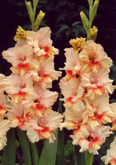 Gladiolus 'Painted Ruffle'