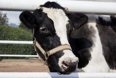 Vaca, animales, blanco, negro, cabeza, pelo, Cow, animals, white, black, head, hair