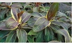Cordyline fruticosa 'Mocha Latte'  aka 'Miss Andrea'  Common Name:  Origin: New Guinea and Southeast Asia  Height: Up to 3'  Light: Partial sun to shade  Water: Moderate  Bloom: Sporadic clusters of tiny, purple, star-like flowers