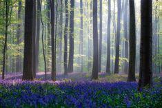 Это — лес Hallerbos (или Халле Лес на голландском языке) и находится он в Бельгии.
