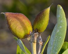 Black mangrove fruit, Portland Bight, Jamaica.