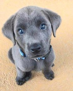 Via 💜 The cutest puppy 🐶❤️ Via 💗 Comment below if You like this💖 🌹 Love to tag? Cute Labrador Puppies, Cute Dogs And Puppies, Baby Puppies, Doggies, Super Cute Animals, Cute Little Animals, Cute Funny Animals, Funny Dogs, Cute Animal Pictures