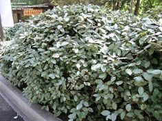 Image result for silverberry bush
