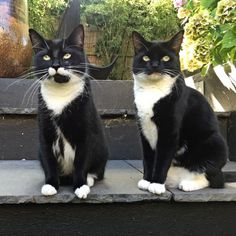 A Tribute to Tuxedo Cats on the 125th anniversary of the American Tuxedo