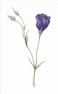 botanical flower prints lisianthus - Google Search