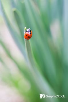 Check out this adorable #red #ladybug photo! You can download it at GraphicStock.