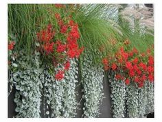 dichondra silver falls with grasses and red flowering plants Alley wall. Pool Plants, Garden Plants, Flowering Plants, Container Flowers, Flower Planters, Australian Native Garden, Outside Plants, Window Box Flowers, Dendrobium Orchids
