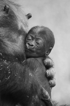 Precious baby gorilla rests on mother's arms.