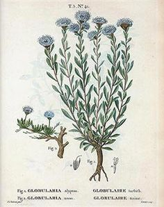 Weihwedel - Globularia alypum L.