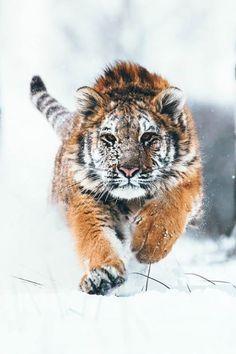 banshy:Siberian Tiger by Martin Mecnarowski by alltiger