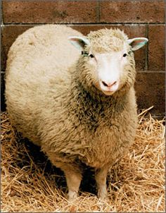 The highly publicised success of Scottish researchers in producing an adult clone of a sheep ('Dolly') has focused attention on the possibility of using transgenic animals to produce human proteins in sheep. Fine Art Prints, Framed Prints, Canvas Prints, Organ Transplant, Poster Pictures, Banner Printing, Dolly Parton, Genetics, Felt