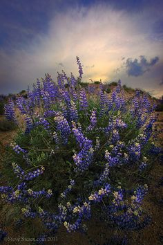 Wild lupines growing in the Kern River watershed in the Southern Sierra.  Nature and wildflower photography by Steve Sieren.