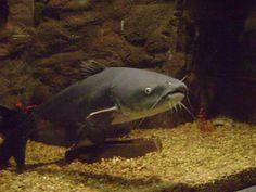 Big Catfish, Catfish Fishing, Fun Facts About Animals, Animal Facts, Fishing Life, Best Fishing, Plecostomus, Channel Catfish, Freshwater Aquarium Fish