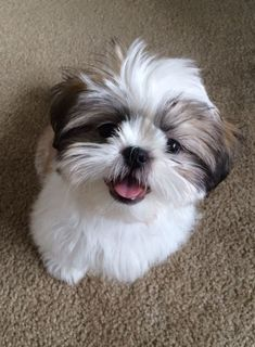 "Click visit site and Check out Cool ""Shih Tzu"" T-shirts. This website is… - Tap the pin for the most adorable pawtastic fur baby apparel! You'll love the dog clothes and cat clothes!"