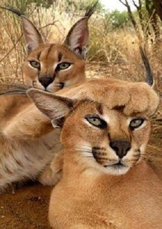 """- June 2015 * * MALE CARACAL: """" Yoo, woman, are notz goin' to de Savannah party and dat's final.""""* * MALE CARACAL: """" Yoo, woman, are notz goin' to de Savannah party and dat's final. Animals And Pets, Baby Animals, Funny Animals, Cute Animals, Wild Animals, Nature Animals, Big Cats, Cats And Kittens, Cute Cats"""