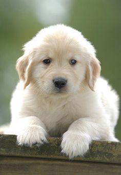 Golden Retriever Puppy on Bench