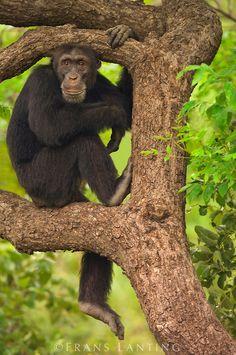 Chimpanzee male, Pan troglodytes verus, Fongoli, Senegal