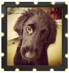vote for my cute flat coated retriever puppy!