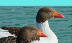 Pair of Ducks on the Blue Water Art Print Animals Images, Cute Animals, Most Beautiful Birds, Water Art, Nature Water, Old Paintings, Nature Images, Cute Faces, Free Photos