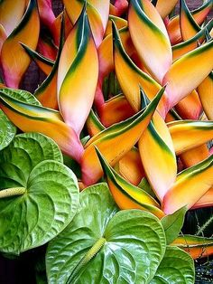 Beautiful tropical flowers: Heliconia and anthuriums Tropical Flowers, Hawaiian Flowers, Tropical Garden, Tropical Plants, Cactus Flower, Unusual Flowers, Amazing Flowers, Beautiful Flowers, Exotic Plants