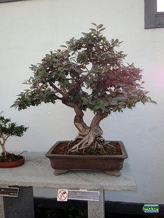 Elaeagnus - Elaeagnus x ebbingei 'Albert Doorenbos' - Elaeagnaceae - 45 years old - Created at Jardin botanique de Montreal