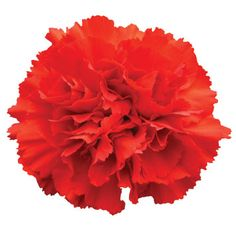 Symbolic for love and affection, red carnation flowers are extremely popular and can be used in wedding decorations or floral arrangements. Mothers Day Flowers, All Flowers, Types Of Flowers, Valentine Flowers, Birth Flowers, Valentines, Purple Carnations, Red Carnation, Cheap Wedding Flowers