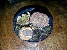 Stone Faces Succulent for 48 cents