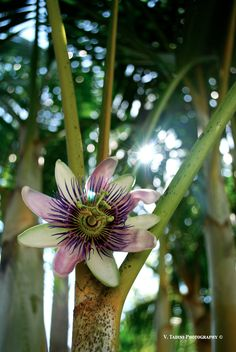 gorgeous passion fruit flowers