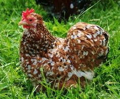 rare chicken breeds with pictures | Millifleur Pekins - Rosie's Rare Breed Poultry