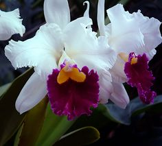 White purple cattleya orchid.  Very delicate!!