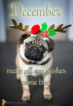 You already made my wishes come true. Cute Pug Puppies, Cute Pugs, Doggies, Xmas Quotes, Dog Quotes, Puppy Shot Schedule, Christmas Puppy, Christmas Time, Christmas Ideas