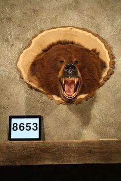 Mounted Grizzly bear head