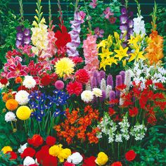 How to plant and care for summer bulbs - Sunset. Some summer bulbs , however, Pesche's Flowers Amazing Flowers, Pretty Flowers, Beautiful Butterflies, Dahlia, Summer Bulbs, Summer Flowering Bulbs, Dutch Gardens, Potager Garden, Herb Gardening