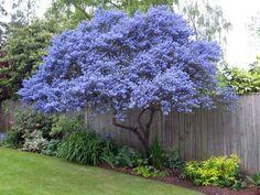 Ceanothus - spring flowering evergreen, grown as a tree