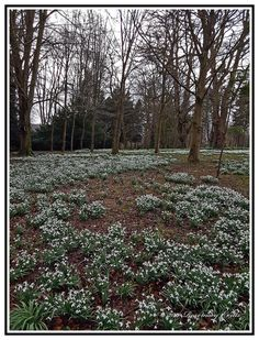 Bill E2011 posted a photo:  England - Nature - Flowers - Snowdrops Growing in the Woods.  The Colesbourne estate lies in the beautiful setting of the Churn valley, halfway between Cirencester and Cheltenham, in the heart of the Cotswolds. John Elwes, son of the celebrated miser, purchased the estate of 1600 acres in 1789 and over the next few years more land was added to make a total of 6000 acres. The original house, situated near the church, comprised a very elegant Queen Anne front built…