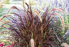 Learn how to grow purple fountain grass (Pennisetum setaceum 'Rubrum'). This ornamental is also termed red since that's what its cultivar name means. Deer Resistant Landscaping, Deer Resistant Garden, Deer Resistant Perennials, Landscape Borders, Landscape Design, Landscape Timbers, Garden Design, Flower Landscape, House Landscape