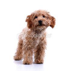 Cute Little Teddy Bear Puppy Studio Shot – XXLarge Royalty Free Stock Photo