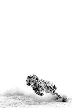 Running at the speed of light straight to your heart we love cheetahs! Nature Animals, Animals And Pets, Cute Animals, Amazing Animals, Animals Beautiful, Wildlife Photography, Animal Photography, Regard Animal, Photo Animaliere