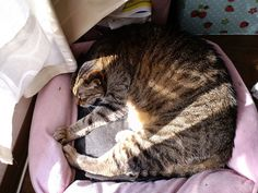 Today's cat on 15th Apr. 2013 by ganchan2, via Flickr